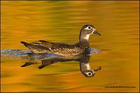 Wood Duck hen looking back (8756)