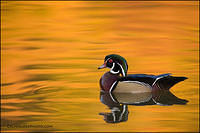 Wood duck drake reflections (1065)