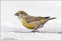 Red Crossbill female on snow