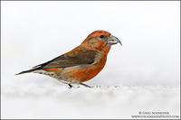 Red Crossbill male on snow #2