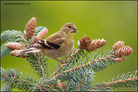 American Goldfinch eating seeds (#7726)