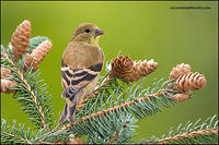 American Goldfinch (#7712)