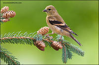 American Goldfinch on pine cones (#7735)