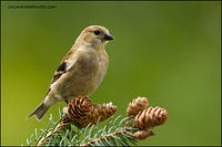 American Goldfinch (#7611)