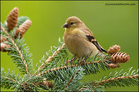 American Goldfinch (#7678)