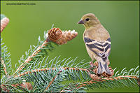American Goldfinch looking back (#7699)