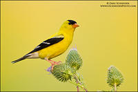 American Goldfinch (male) on thistles
