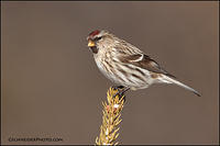 Common Redpoll on pine (#1909)