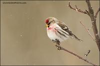 Common Redpoll (#5721)