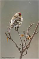 Common Redpoll (#6186)