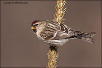 Common Redpoll (#1848)