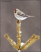 Hoary Redpoll in snow