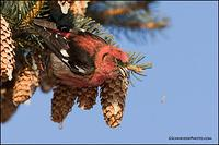 White-Winged Crossbill spitting seed