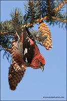 White-Winged Crossbill (#1368)