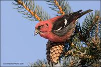 White-Winged Crossbill (#1554)