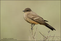 Say's Phoebe Perched