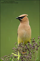 Cedar Waxwing in rain showers