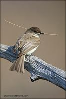 Eastern Phoebe with twig
