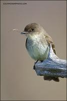 Eastern Phoebe with nesting material