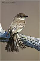 Eastern Phoebe fanning tail