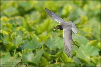 Black Tern with Mayfly prey