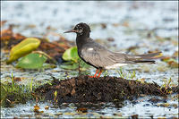 Black Tern perched on muddy outcrop
