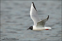 Breeding plumaged Bonaparte's Gull in flight under overcast skies