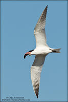 Caspian tern banking with goby prey