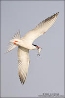 Common Tern banking away with fish