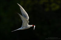 Common tern with fish against dark background
