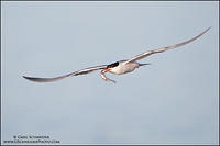 Common Tern flying headon with fish