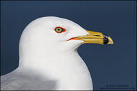 Portrait of an Adult Ring-billed Gull
