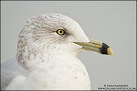 Adult Ring-billed Gull portrait (non-breeding)