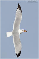 Ring-billed Gull flying with prey