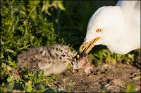 Ring-billed Gull feeding young