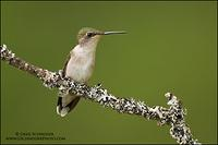Ruby-throated Hummingbird on lichen-covered branch