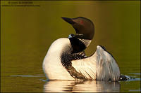 Common Loon beginning wing flap