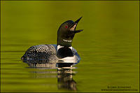 Common Loon calling
