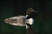 Common Loon swimming on calm, dark water