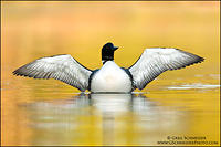 Common Loon with wings spread on golden water