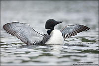 Loon wingflap in overcast conditions