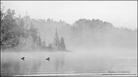 Common Loon pair swimming on a misty lake