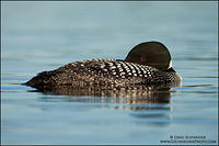 Common Loon sleeping