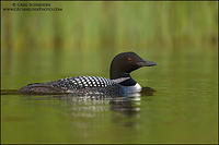 Common Loon swimming near shoreline vegetation