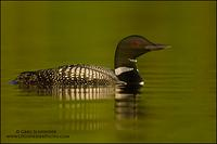 Common Loon on calm lake