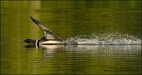 Common Loon landing