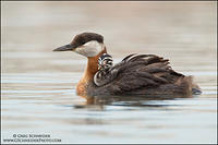 Red-necked Grebe adult with young