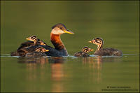 Red-necked Grebe family #2