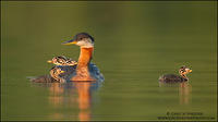Red-necked Grebe family #3