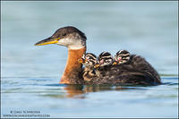 Red-necked Grebe chicks riding on parent